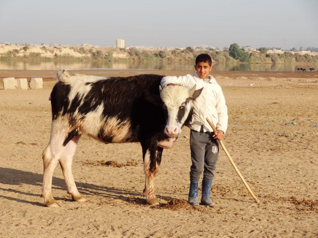 Buffallo-Ahvaz-Iran